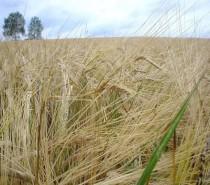 """Opasnosti srednjovekovne ishrane – """"Četiri jahača Apokalipse"""" u biljnoj hrani (2)"""