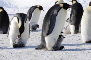 Južni pol, pingvini