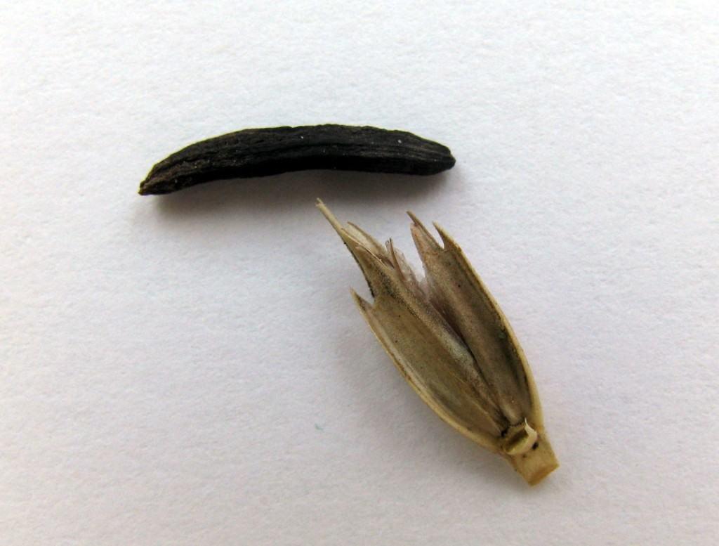 Ražena glavnica napada i druge žitarice – npr. jednozrnu pšenicu (Triticum monococcum): Arheobotanička bašta Muzeja Vovodine u Novom Sadu