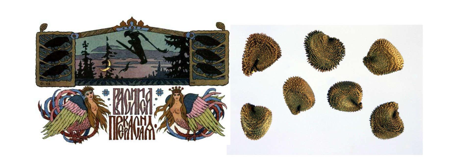 U bajci Vasilisa Prekrasna se opisuje na koji način su se nekada iz žita odstranjivala semena kukolja