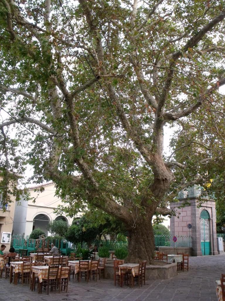 Platan na trgu u selu Antisa, na Lezbosu, foto Pavle Tišma