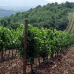 Kraljevi vinogradi u Topoli