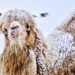 Arktičke kamile, 2019. BELDOCS